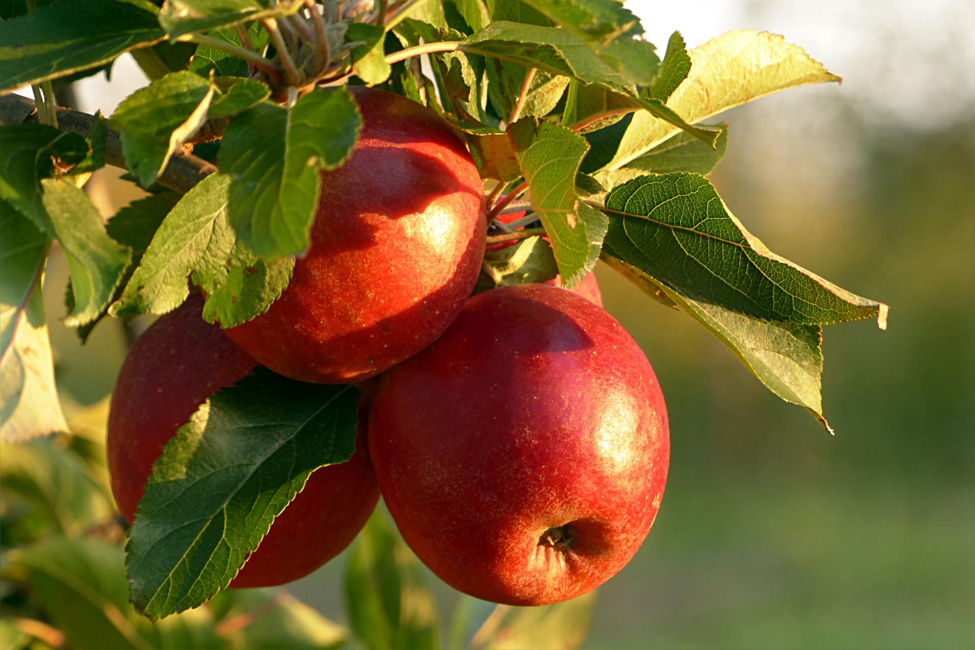Deshalb sind Schweizer Äpfel so gesund