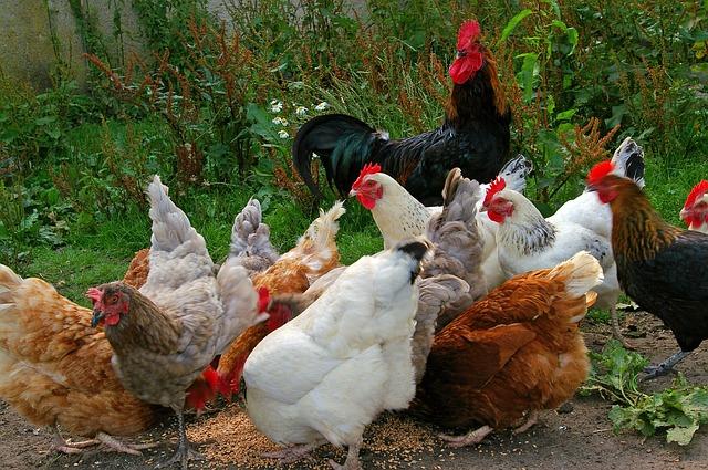 Autark leben – Hühnerhaltung für Selbstversorger